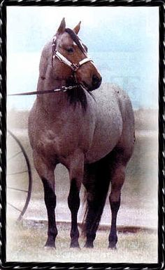Two ID Sweet Jack 1994 bay roan stallion by Two ID Bartender out of Miss Sweety Jack. 37.5% Two Eyed Jack