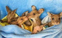 Orphaned kangaroo joeys at Wildlife Victoria rescue centre in Melbourne.  Picture: Sarah Matray/Newspix/REX