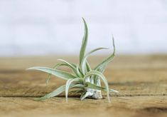 New to air plants? We've put together our top 5 Tillandsia that are great for just starting out your air plant collection, from ioananthas to xerographica. What Are Air Plants, Air Plants Care, Plant Care, Outdoor Plants, Garden Plants, Outdoor Gardens, Indoor Gardening, Vegetable Garden, Organic Gardening