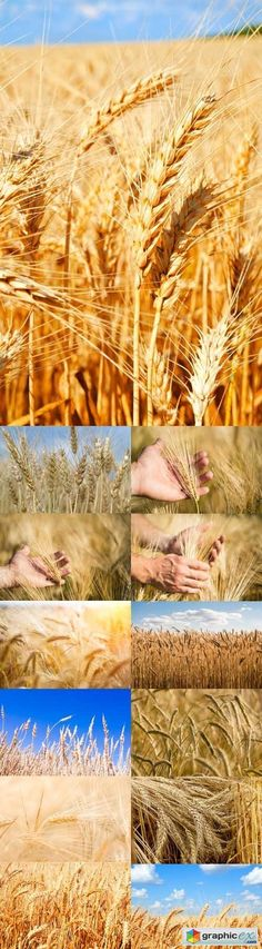 Photo Set  Ears of golden wheat close up harvest Concept  stock images