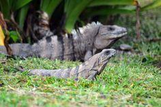 Kingdom Animalia, Black Iguanas (by Pablo de Gorrion)