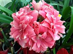 Most Beautiful Flowers, Pretty Flowers, Colorful Flowers, Pink Flowers, Different Flowers, Types Of Flowers, South African Flowers, Amarillis, Christmas Plants
