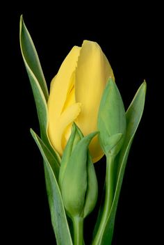 Yellow-Tulip-with-Buds