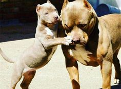 pitbull puppy with his parent