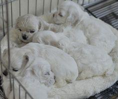 Cuddles Clumber Spaniel, Cocker Spaniel Puppies, Cute Puppies, Cute Dogs, Dogs And Puppies, Beautiful Dog Breeds, Beautiful Dogs, King Spaniel, American Cocker Spaniel