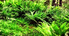 Northwest ferns