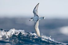 Blue Petrel        Halobaena caerulea in flight -