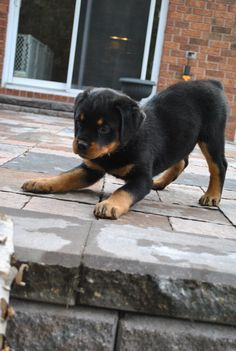 Rottweiler Puppy! I shall have one and his name will be Bear. ^_^ Rottweiler Dog Training  http://tipsfordogs.info/90dogtrainingtips/