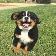 The Best Puppies - Dog Pics - Puppy Photos - Best Dog Funny Pictures Best Puppies, Cute Dogs And Puppies, I Love Dogs, Pet Dogs, Doggies, Cute Baby Animals, Animals And Pets, Funny Animals, Burmese Mountain Dogs