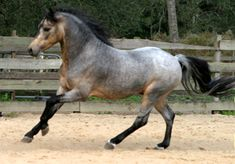 This is a questioning color. It is a Buckskin, but doesn't look like a Roan. May have a White Cap (a Blanket without spots) or white ticking.