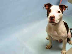 ★1/25/16 IN ACC FOSTER CARE||NOT SAFE!!||★ROSEMARY - A1062038 - Urgent Brooklyn - FEMALE WHITE/BROWN AM PIT BULL TER MIX, 1 Yr - STRAY - NO HOLD Intake 01/02/16 Due Out 01/05/16 - CAME IN WITH ROSEANNE #A1062040 (NOT AN URGENT DOG)