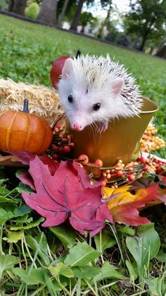 """When you think of having those pet with quills, you may ask first, """"What do hedgehogs eat?"""" You have to ensure that you will be providing them with the proper food and diet for them to stay healthy and active. Happy Hedgehog, Hedgehog Pet, Cute Hedgehog, Guinea Pig Toys, Guinea Pig Care, Cute Little Animals, Little Pets, Hedgehog Habitat, Animals And Pets"""