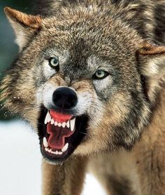 The twins don't like wolves because the Big Bad Wolf Pack, tried to eat them but luckily Goldilocks swooped in at the last moment to protect them. Wolf Photos, Wolf Pictures, Free Pictures, Animal Pictures, Funny Pictures, Big Bad Wolf, Beautiful Wolves, Animals Beautiful, Snarling Wolf