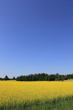 A turnip rape field in Finland.