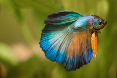 Gold and Turquoise Halfmoon Betta