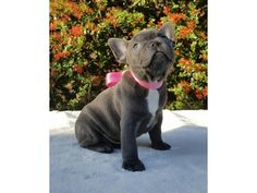 Blue French Bulldog Puppies For Sale is listed For Sale on Austree - Free Classifieds Ads from all around Australia - http://www.austree.com.au/pets/dogs-puppies/blue-french-bulldog-puppies-for-sale_i2412