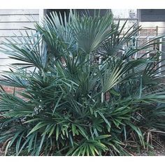 $24.98 �2.3-Gallon Insignificant Needle Palm (L14458) Height (Feet)8.0 Maximum Width (Feet)10.0 Light RequirementsPart sun Moisture RequirementsMoist  Zone 6 (0 to -10 degrees by pool