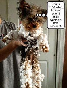 LIKE and REPIN if you are ready for the heat to go and snow to flow  For more Yorkie Fun join the Fan Club at ->http://yorkiesgroup.com/join