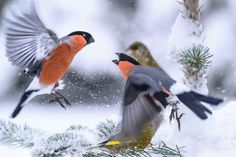 Bullfinches fight in snow!