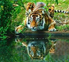 A beautiful photo!!!!!  The stunning Tiger's reflection in a pool...I love love love this photo!!!