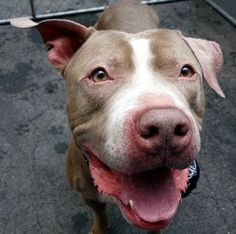 SAFE 8/30/2015 by All Breed Rescue --- Manhattan Center R.A SALVADOR – A1047919 MALE, BLUE / WHITE, AMER BULLDOG MIX, 3 yrs STRAY – EVALUATE, NO HOLD Reason STRAY Intake condition UNSPECIFIE Intake Date 08/14/2015 http://nycdogs.urgentpodr.org/r-a-salvador-a1047919/