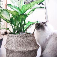 """Sandra on Instagram: """"▫️ Une nouvelle plante ▫️ Coucou à tous, juste une petite photo pour vous présenter ma nouvelle plante. Et oui j'ai encore craqué pour de…"""" Oui, Photos, Instagram, Peek A Boos, Plants, Baby Born, Pictures"""