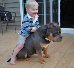 The Importance of Socialization For A Happy, Healthy American Bully - BULLY KING Magazine