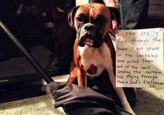 Boxer dog shaming