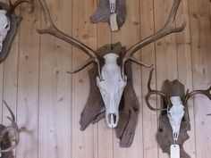 For trav s european elk mount attaching a skull mount to a panel