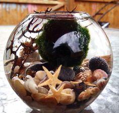 Marimo terrarium in teardrop glass vase with real by EclecticZen, $24.00