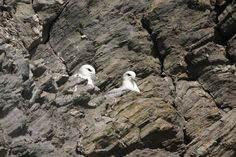 A couple of Fulmar Petrels spotted on Ramsey Island recently! Fulmars defend their nests by regurgitating a foul smelling oil at the intruder which is waterproof and difficult to remove from fur or feathers