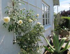 Havedrømme: Nu skal du beskære dine roser