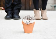 This hedgehog...the cuteness! We offer family friendly pet photography in the Chicago - Rockford - Naperville area. Visit our site, Paw Prints Photography, for more information.