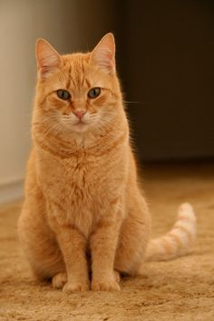 I Love orange cats and this guy would fit right in to our household.