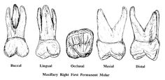 MOLARSupper Dentistry, School Stuff, Tooth, Study, Amor, Dental Anatomy, Libros, Teeth, Studio