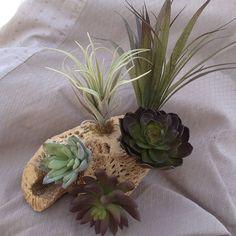 tilandsia yucca agav