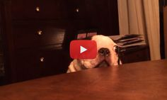 Periscope UP! Watch this old Boston Terrier doing Visual Reconnaissance! ► http://www.bterrier.com/?p=26051