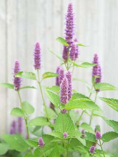 Anise Hyssop - This tough, drought-tolerant perennial looks beautiful for months in summer and fall when it's covered with spikes of lavender-blue, licorice-scented flowers.