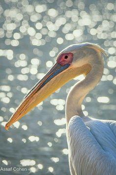 Seabirds - Pelican -Bokeh photography