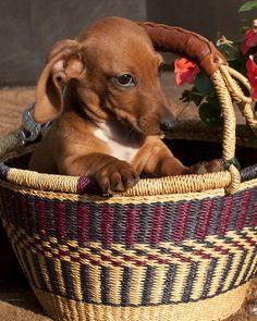 doxie in a basket! #cute #dachshund