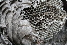 Image of old broken open paper wasp nest showing interior cells