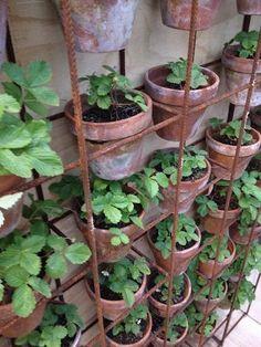 Inspiring Diy Herb Pots For Indoors And Outdoors. Here are the Diy Herb Pots For Indoors And Outdoors. This post about Diy Herb Pots For Indoors And Outdoors … Home Garden Plants, Herb Garden, Vegetable Garden, Balcony Garden, Garden Beds, Strawberry Seed, Strawberry Plants, Giant Strawberry, Strawberry Patch