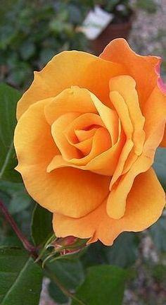 orange rolse