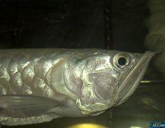 Osteoglossum bichirrosum (Silver Arowana)    #Aquarium #Fresh water #Fish #Plants #Follow #수족관 #민물 #물고기 #식물 #따라 #akvarium #färskvatten #fisk #Växter #Följ #พิพิธภัณฑ์สัตว์น้ำ #น้ำจืด #ปลา #พืช #ปฏิบัติตาม #水族馆 #淡水 #鱼 #植物 #跟随