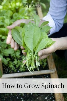 How to Grow Spinach including how to grow spinach from seed, how to transplant spinach seedlings, when and how to harvest spinach plants.: