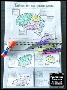 This science interactive notebook craft activity (craftivity) will help your students review the lobes of the brain. It is a fun supplement to a body systems unit study. Students will need to use classroom resources or their own research to match the 16 facts about the lobes of the brain.This human body activity works well in centers or stations for teaching 4th, 5th, 6th grade, middle school and kids with special education learning needs.