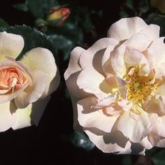 """Penelope, Full trusses of creamy pink to yellow semi-double 4"""" blooms (petals 18) that open to show golden yellow centers with strong heady musk fragrance of a very vigorous continual blooming bush with glossy foliage."""