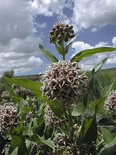 Milkweed - used to love to open them up and blow all the silky seeds away...