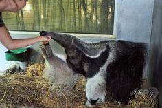 仏西部のサーブル・ドロンヌ(Sables-d'Olonne)動物園で飼育されている8歳のオオアリクイ(2008年7月30日撮影、資料写真)。(c)AFP/FRANK PERRY ▼28Jul2014AFP|オオアリクイの襲撃で死亡例、遭遇リスク増に懸念 ブラジル http://www.afpbb.com/articles/-/3021675 #Giant_anteater #Myrmecophaga_tridactyla #Tamanoir  Großer Ameisenbär