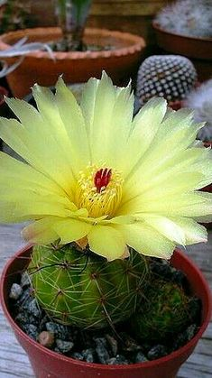 Cactus Flower, Cactus Plants, Red Orchids, Rainbow Flowers, Cactus Y Suculentas, Succulents Garden, Pretty Flowers, Natural Beauty, Beautiful